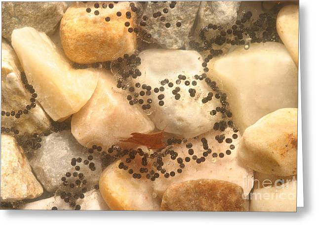 American Toad Eggs Greeting Card by Ted Kinsman
