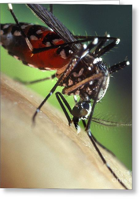 Asian Tiger Greeting Cards - Asian Tiger Mosquito Greeting Card by Science Source