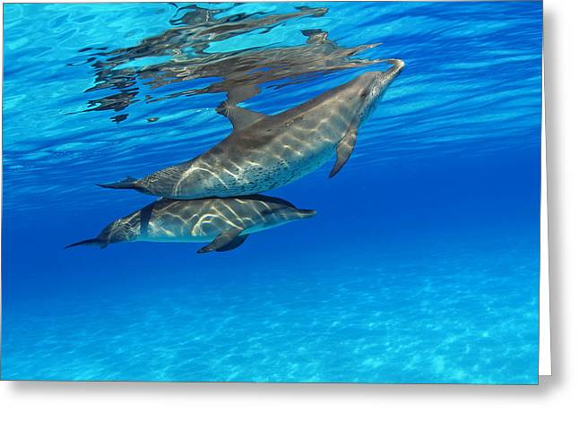 Recently Sold -  - Underwater Photos Greeting Cards - Atlantic Bottlenose Dolphins Greeting Card by Dave Fleetham - Printscapes