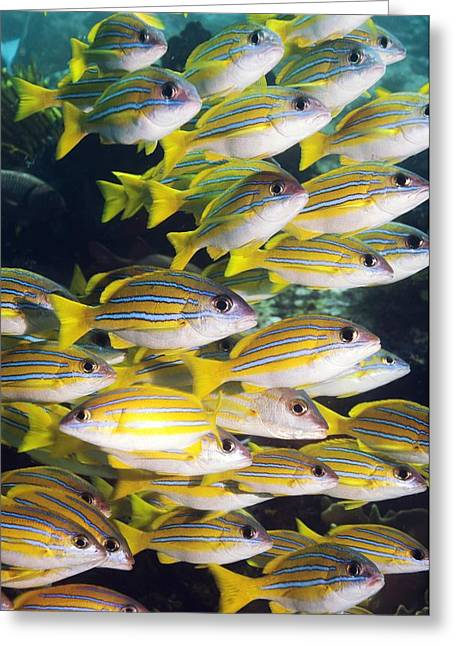 Zoology Greeting Cards - Blueline Snappers Greeting Card by Georgette Douwma