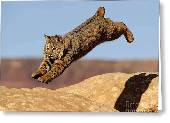 Bobcats Greeting Cards - Bobcat Greeting Card by Dennis Hammer