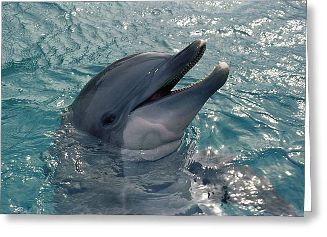 Tursiops Truncatus Greeting Cards - Bottlenose Dolphin Greeting Card by Alexis Rosenfeld