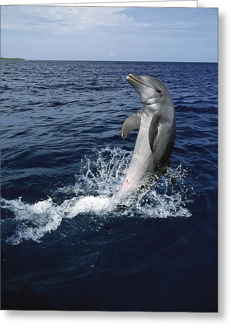 Bottlenose Dolphin Tursiops Truncatus Greeting Card by Konrad Wothe