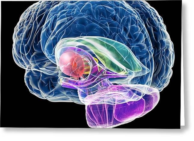Corpus Callosum Greeting Cards - Brain Anatomy, Artwork Greeting Card by Roger Harris