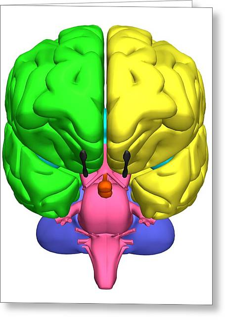 Left Hemisphere Greeting Cards - Brain Anatomy Greeting Card by Friedrich Saurer