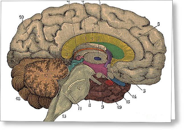 Corpus Callosum Greeting Cards - Brain Cross-section Greeting Card by Science Source