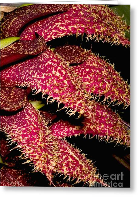 Smelly Greeting Cards - Bulbophyllum Orchid Greeting Card by Danté Fenolio