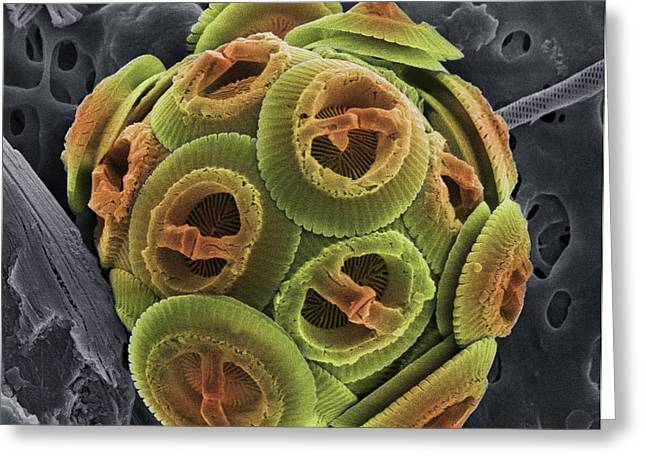Coccolithophorid Greeting Cards - Calcareous Phytoplankton, Sem Greeting Card by Steve Gschmeissner