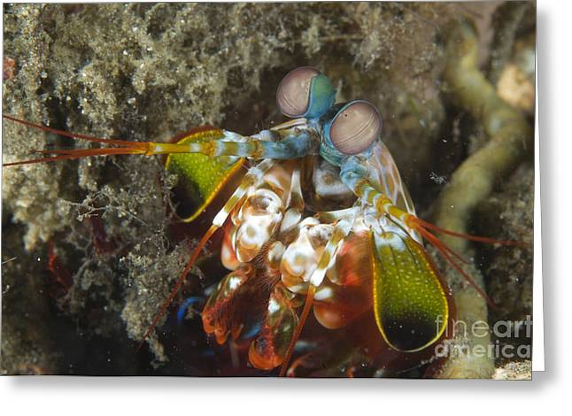 Close-up View Of A Mantis Shrimp, Papua Greeting Card by Steve Jones