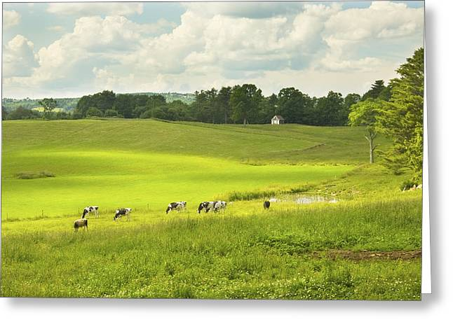 Guernsey Greeting Cards - Cows Grazing On Grass In Farm Field Summer Maine Greeting Card by Keith Webber Jr
