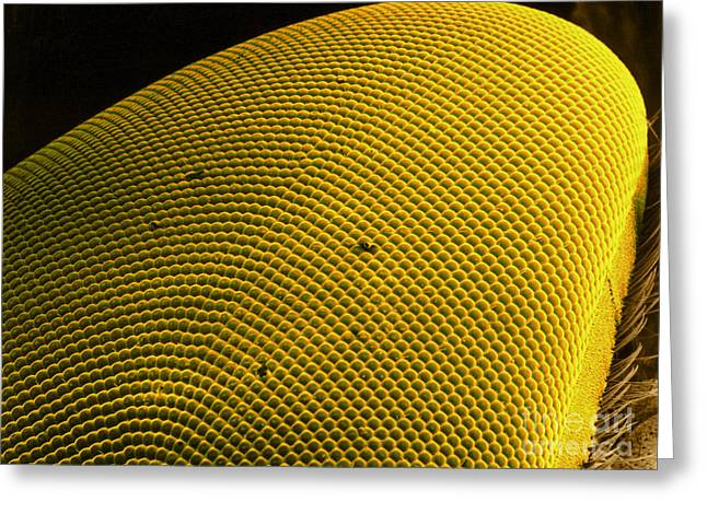 Scanning Electron Micrograph Greeting Cards - Deer Fly Eye, Sem Greeting Card by Science Source