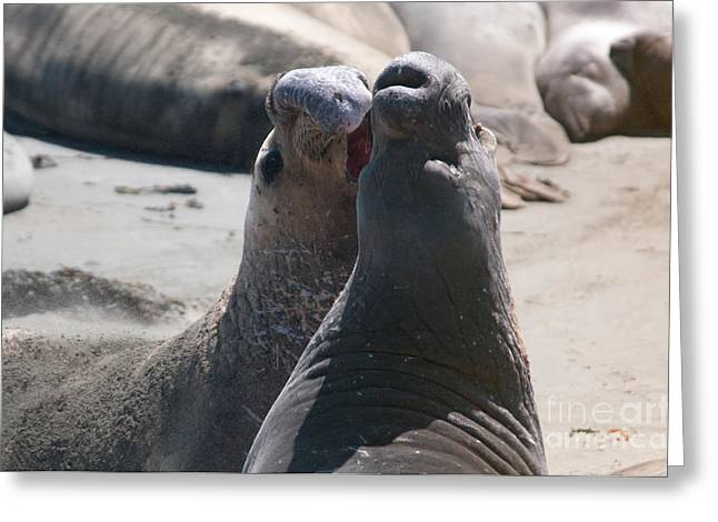 Elephant Seals Digital Greeting Cards - Elephant Seal Colony on Big Sur  Greeting Card by Carol Ailles