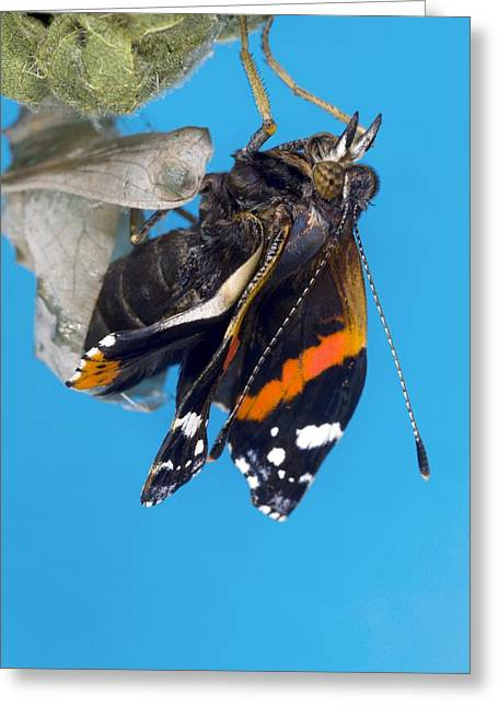 Cocoon Greeting Cards - Emerging Red Admiral Butterfly Greeting Card by Dr Keith Wheeler