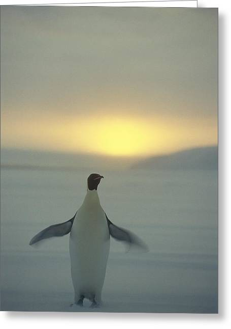 Aptenodytes Sp Greeting Cards - Emperor Penguin Aptenodytes Forsteri Greeting Card by Pete Oxford