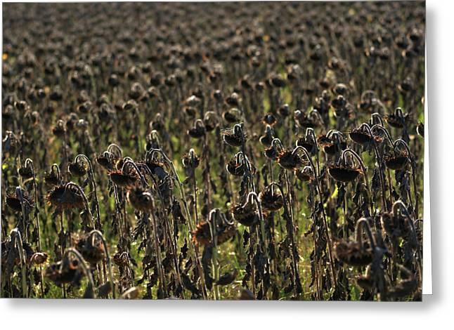 Field Of Sunflowers Greeting Card by Bernard Jaubert