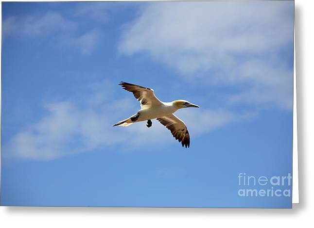 Northern Gannet Greeting Cards - Gannet In Flight Greeting Card by Ted Kinsman