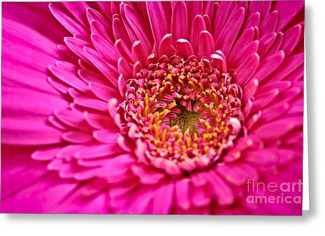 Fuschia Greeting Cards - Gerbera flower Greeting Card by Elena Elisseeva