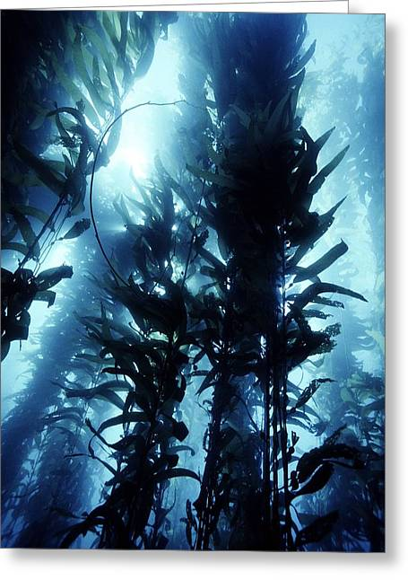Kelp Forest Greeting Cards - Giant Kelp Greeting Card by Georgette Douwma