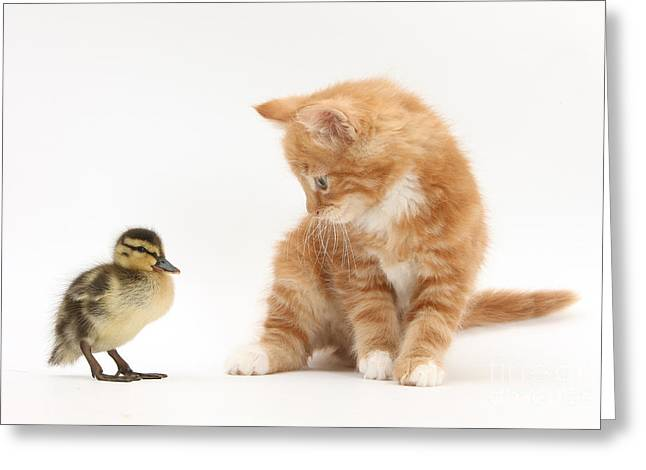 House Pet Greeting Cards - Ginger Kitten And Mallard Duckling Greeting Card by Mark Taylor