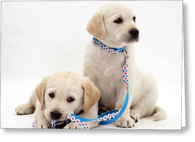 Goldidor Retriever Puppies Greeting Card by Jane Burton