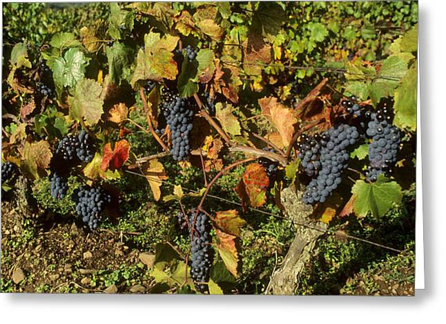 Grapes growing on vine Greeting Card by BERNARD JAUBERT