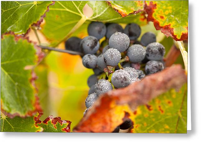 Pinot Noir Greeting Cards - Grapes on the Vine Greeting Card by Andy Dean