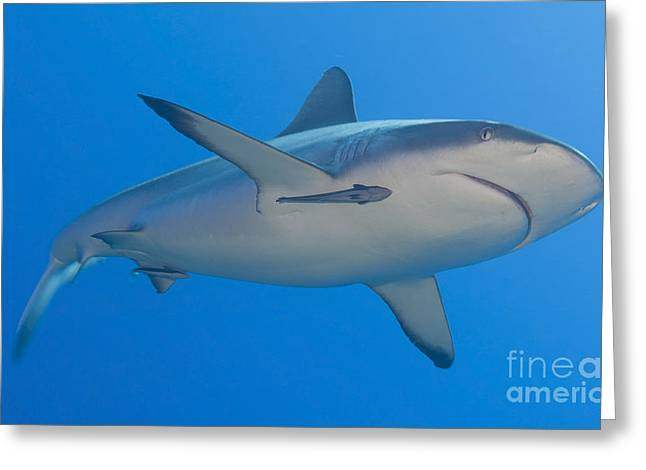 Reef Fish Greeting Cards - Gray Reef Shark With Remora, Papua New Greeting Card by Steve Jones