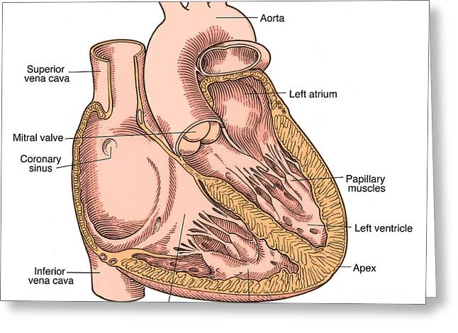 Cava Greeting Cards - Illustration Of Heart Anatomy Greeting Card by Science Source