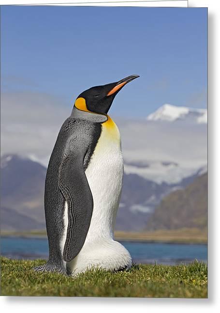 Aptenodytes Sp Greeting Cards - King Penguin Aptenodytes Patagonicus Greeting Card by Ingo Arndt