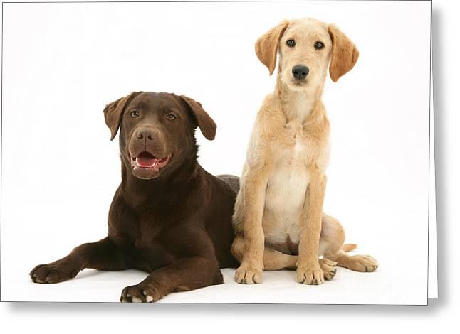 Chocolate Lab Greeting Cards - Labradoodle And Labrador Retriever Greeting Card by Jane Burton
