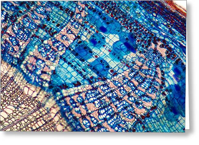 Xylem Vessels Greeting Cards - Lime Tree Stem, Light Micrograph Greeting Card by Dr Keith Wheeler
