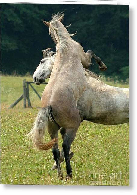 Sparring Greeting Cards - Lipizzan Horses Greeting Card by Angel  Tarantella