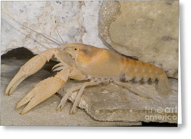 Cave Fauna Greeting Cards - Miami Cave Crayfish Greeting Card by Dante Fenolio