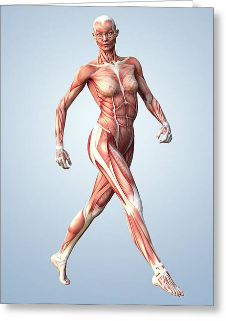 Jogging Greeting Cards - Muscular System Greeting Card by Roger Harris