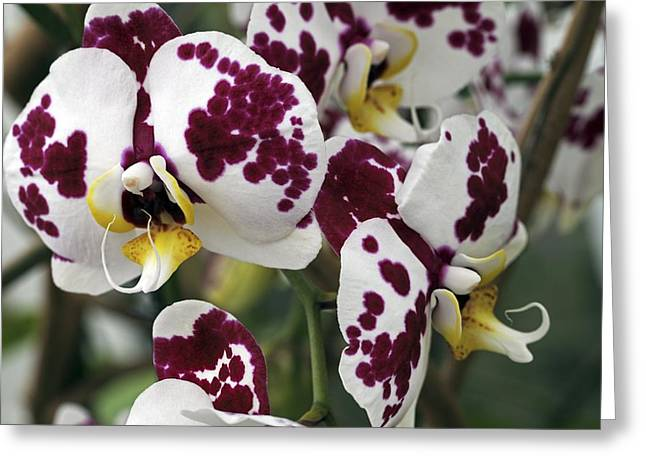 Strongylodon Macrobotrys Greeting Cards - Orchid Flowers Greeting Card by Dirk Wiersma
