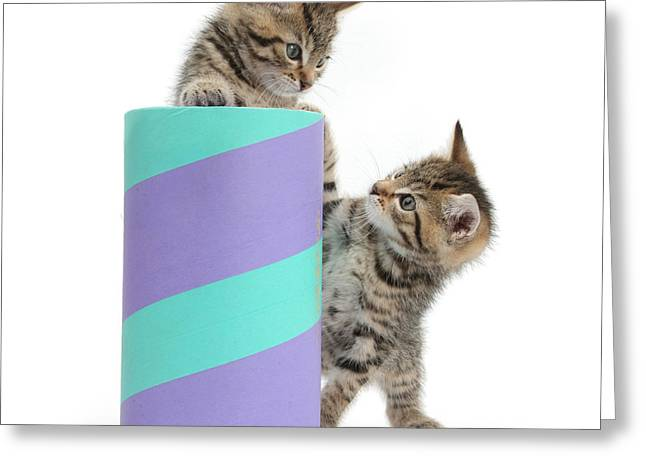 Cardboard Greeting Cards - Playful Kittens Greeting Card by Mark Taylor
