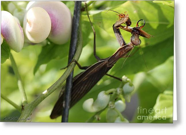 Caracalla Greeting Cards - Praying Mantis Greeting Card by J McCombie