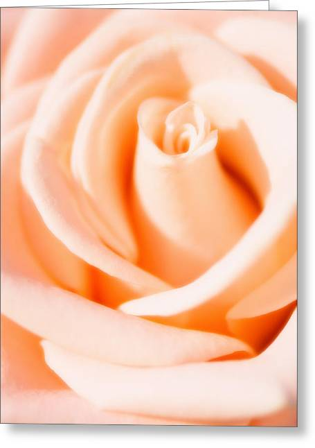 Rosa Sp. Greeting Cards - Rose (rosa Sp.) Greeting Card by Maria Mosolova