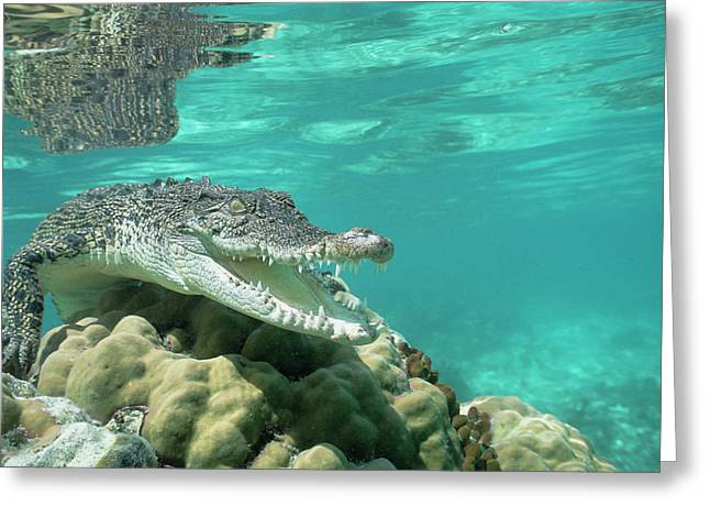 Saltwater Crocodile Crocodylus Porosus Greeting Card by Mike Parry