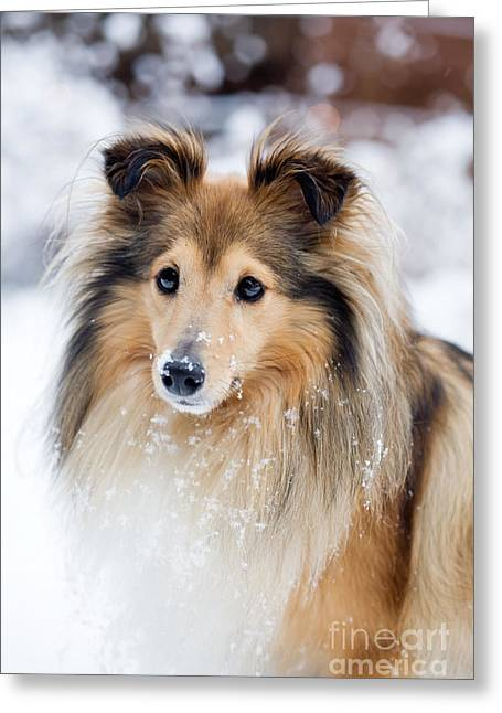 Collie Greeting Cards - Sheltie Greeting Card by Kati Molin