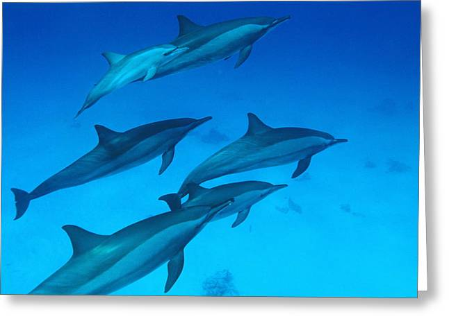 Spinner Dolphin Greeting Cards - Spinner Dolphins Greeting Card by Alexis Rosenfeld