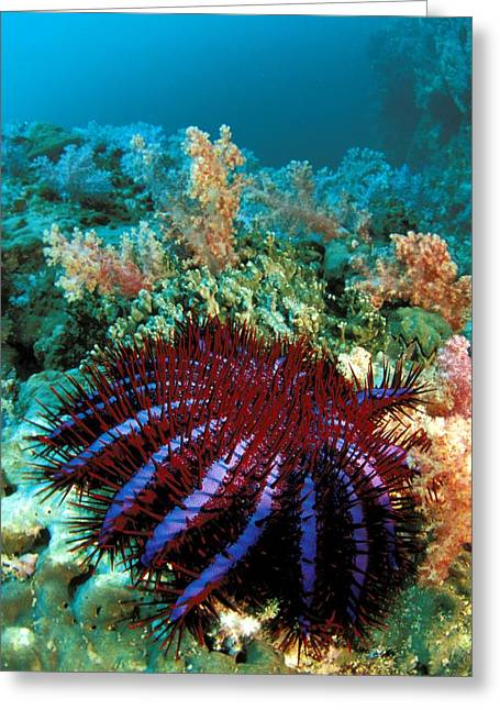 Reef Photos Greeting Cards - Thailand, Marine Life Greeting Card by Dave Fleetham - Printscapes