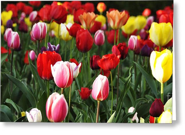 Spring Bulbs Digital Art Greeting Cards - Tulip Garden University of Pittsburgh  Greeting Card by Thomas R Fletcher
