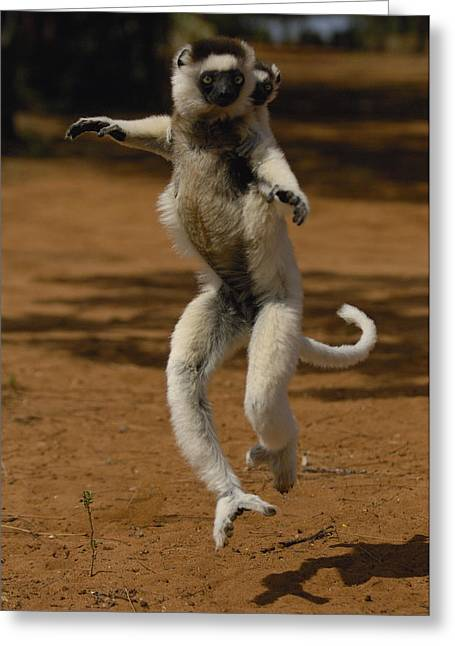 Berenty Private Reserve Greeting Cards - Verreauxs Sifaka Propithecus Verreauxi Greeting Card by Pete Oxford