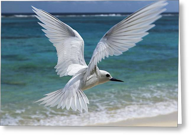 Us Open Photographs Greeting Cards - White Tern Flying Midway Atoll Hawaiian Greeting Card by Sebastian Kennerknecht