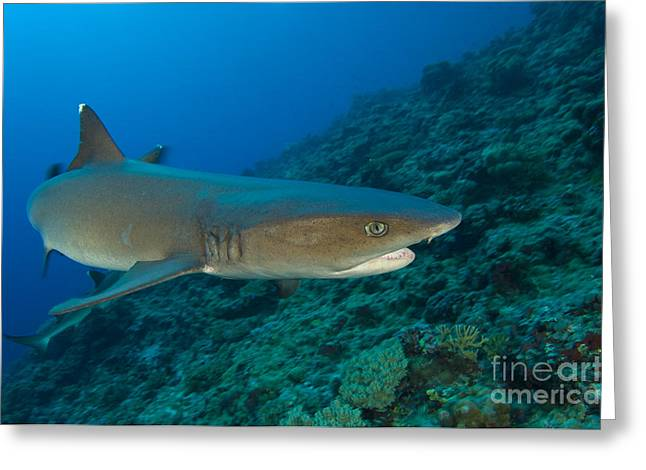 Kimbe Bay Greeting Cards - Whitetip Reef Shark, Kimbe Bay, Papua Greeting Card by Steve Jones