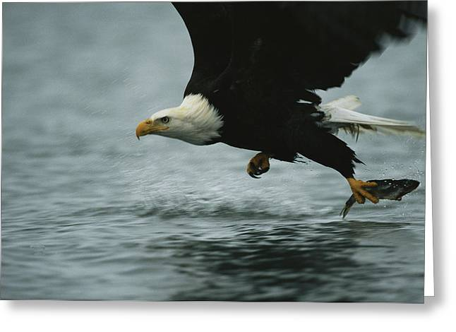 Animals In Action Greeting Cards - An American Bald Eagle In Flight Greeting Card by Klaus Nigge