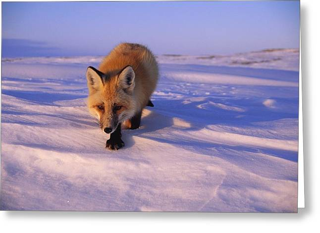 Northwest Territories Greeting Cards - An Arctic Fox Alopex Lagopus Greeting Card by Paul Nicklen