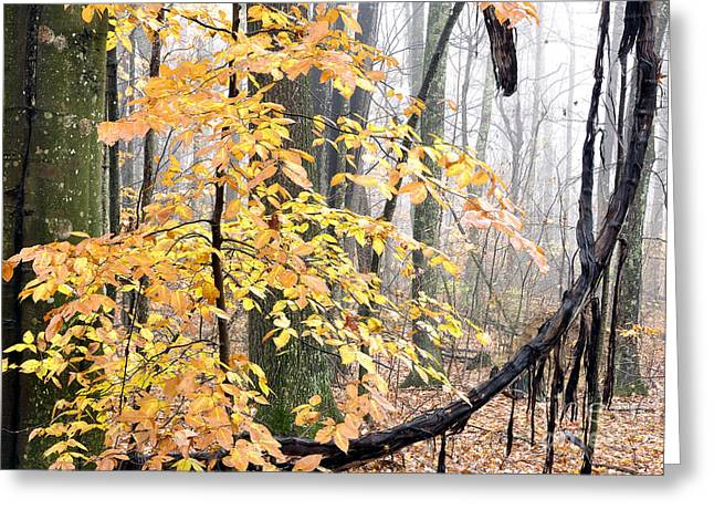 Grapevines Greeting Cards - Autumn Monongahela National Forest Greeting Card by Thomas R Fletcher