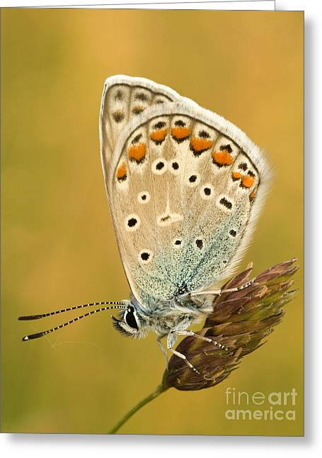 Gecko Illustration Greeting Cards - Butterfly  Greeting Card by Odon Czintos